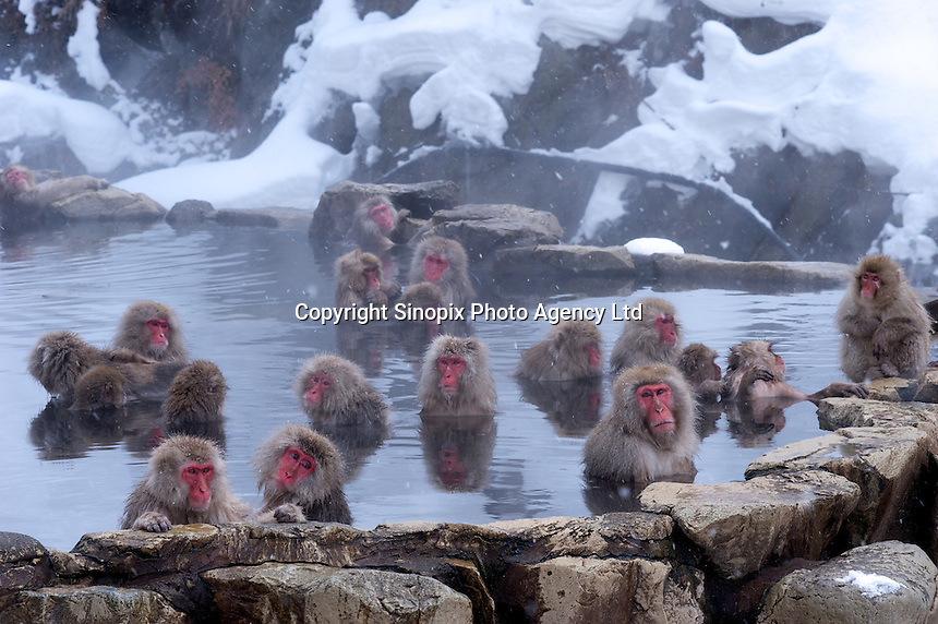 Torao (right and front) the head of the 160 snow monkey troupe at Jigokudani  (Hell Valley) in Nagano Prefecture, Japan. Japanese snow monkeys live in extreme conditions where winter temperatures can drop to -20 c, and they are unique in taking hot bath, known as an Onsen..28 Jan 2011