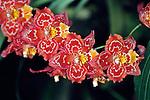 Orange Orchid Hybrid