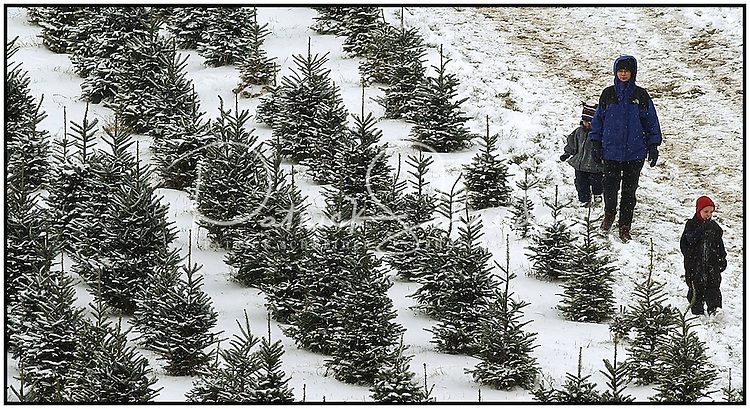 A family searches for a Christmas tree at the Big Ridge Tree Farm in Banner Elk, N.C. Model released photo, can be used to illustrate Christmas tree searches elsewhere.