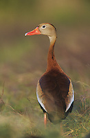 Black-bellied Whistling-Duck, Dendrocygna autumnalis, adult, Welder Wildlife Refuge, Sinton, Texas, USA, June 2005