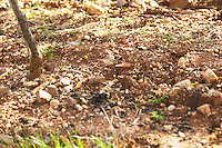 Vineyards. Sandy soil. Herdade da Malhadinha Nova, Alentejo, Portugal