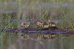 Canada Geese - goslings