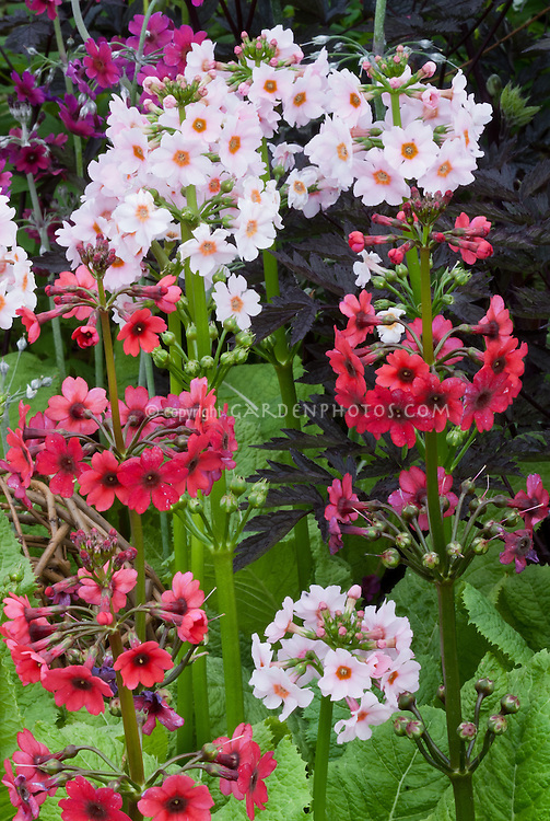 Primula japonica 'Millers Crimson' and 'Apple Blossom' in pink and red flowers planted together in spring bloom, candelabra primroses