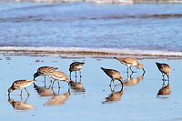 Flock of red knots in winter plumage feeding on beach