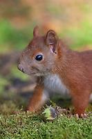Eichhörnchen, Europäisches Eichhörnchen, Jungtier, Junges, Sciurus vulgaris, European red squirrel, Eurasian red squirrel