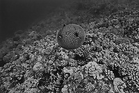 Porcupine Fish puffed up, Big Island of Hawaii
