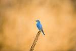 A Mountain Bluebird on a mullein plant in Montana