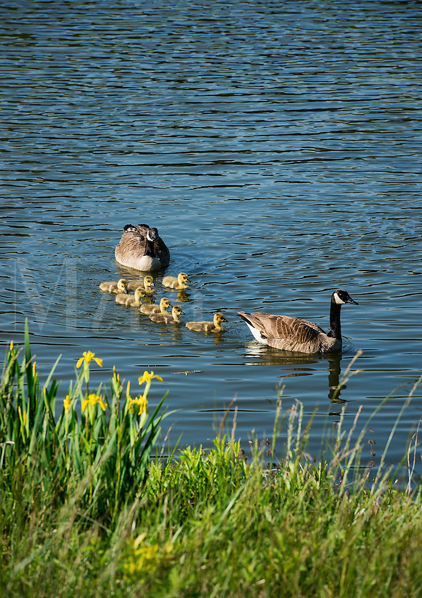 Canadian geese with young gosslings.