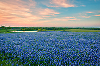 Texas Bluebonnet Sunset Image - Bluebonnets Sunset at  Lake- A field of Texas bluebonnets taken at sunset as the cloud backlight with these pink colors across the sky. The sky reflected the colors into the water below as the sun set in the west.  These bluebonnet wildflowers were wonderful this year they created a blanket of blue flowers over this field for a beautiful Texas landscape.