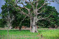 BURKINA FASO, Province Poni, Gaoua, , Baobab tree and maize field in raining season / Baobab Baum und Maisfeld in der Regenzeit