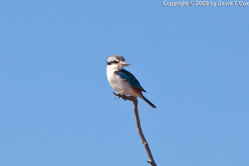 Red-Backed Kingfisher, Camooweal - Tennant Crk Rd, NT, Australia