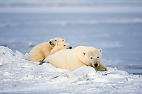polar bear, Ursus maritimus, mother with cubs resting on the pack ice of the frozen coastal plain, 1002 area of the Arctic National Wildlife Refuge, Alaska, polar bear, Ursus maritimus