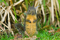 Douglas's Squirrel or Chickaree (Tamiasciurus douglasii).  Pacific Northwest.
