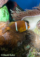0320-1102  Clark's anemonefish (Yellowtail clownfish), Amphiprion clarkii, with Bulb-tipped Anemone, Entacmaea quadricolor  © David Kuhn/Dwight Kuhn Photography.