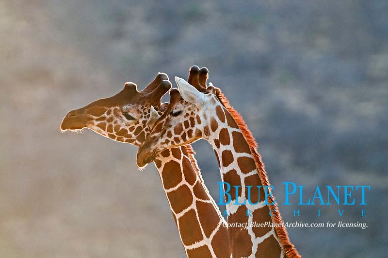 Reticulated Giraffes (Giraffa camelopardalis), Samburu, Kenya, Africa