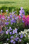 PLATYCODON GRANDIFLORA, BALLOON FLOWER