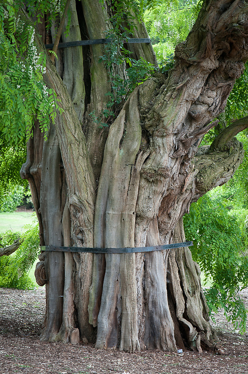 Black locust tree (Robinia pseudoacacia), Kew Gardens. Planted in 1762, this tree is over 250 years old.