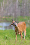 White-tailed doe bothered by insects in northern Wisconsin.