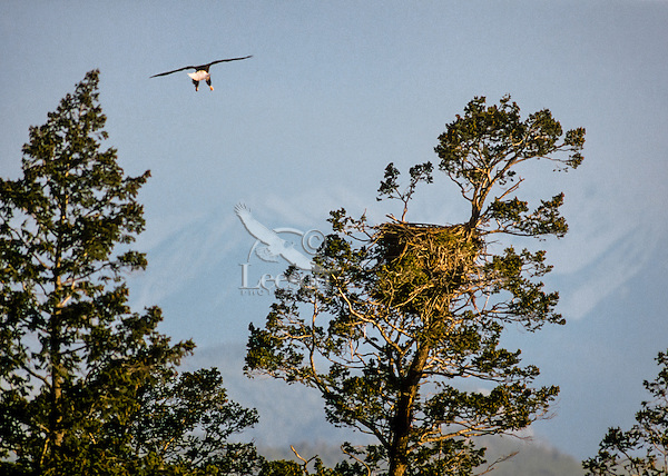 Bald Eagle returning to nest in doug fir tree.  Western North America.  Spring. Late evening light.