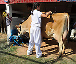 Young girl brushing her cow at Cheshire Fair in Swanzey, New Hampshire USA