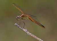 Needham's Skimmer (Libellula needhami) Dragonfly - Female, Iona Island, Bear Mountain State Park, Stony Point, Rockland County, New York