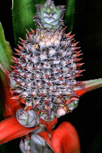 Tataquara, Xingu,  Brazil. Close-up of a pineapple. Para State.