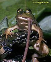 FR09-010z  Bullfrog - eating a worm - Lithobates catesbeiana, formerly Rana catesbeiana