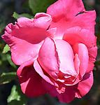 Celebrity Roses