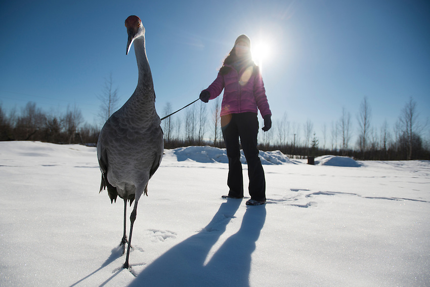 """Andrea Weimer, a volunteer for Alaska WildBird Rehabilitation Center in Big Lake Alaska, caretakes """"Sandy,"""" a Sandhill Crane used for educational presentations. Sandy was imprinted on humans as a chick and  percieves Weimer and the staff at the rehabilitation center as members of her flock."""