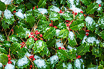 Snowy holly at the Arnold Arboretum in the Jamaica Plain neighborhood, Boston, Massachusetts, USA
