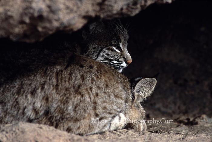 Bobcat Pair in Den