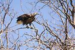 Madagascar Fish Eagle (Haliaeetus vociferoides) in coastal forest near Anjajavy, north west Madagascar.
