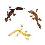 Mossy Leaf-tailed Gecko (Uroplatus sikorae), Lined Leaf-tailed Gecko (Uroplatus lineatus) and Satanic Leaf-tailed Gecko (Uroplatus phantasticus) on white background. From Masoala National Park, north east Madagascar. Photographed in situ on white background