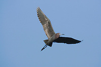 Little Blue Heron (Egretta caerulea), adult in flight, Sinton, Corpus Christi, Coastal Bend, Texas, USA