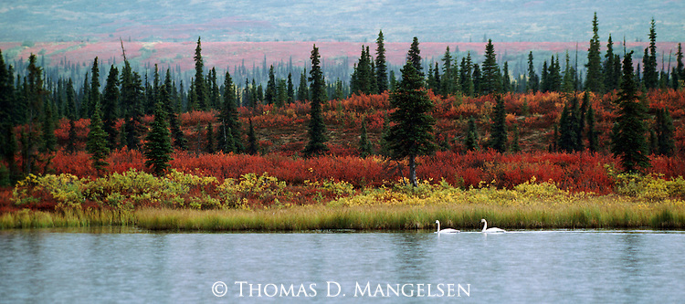 In the last weeks before their migration south, white tundra swans offer a striking contrast to the autumn hues of dwarf birch and dwarf willow.<br />