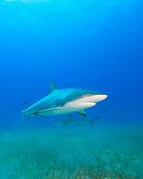 Caribbean Reef Sharks, Carcharhinus perezii, over sea grass bed, West End, Grand Bahamas, Atlantic Ocean