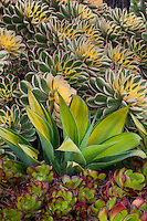 Succulent foliage tapestry with variegated Aeonium 'Sunburst' an Agave attenuata 'Kara's Stripes' in garden bed