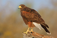 Perched adult Harris's Hawk (Parabuteo unicintus) of the subspecies P. u. harrisi. Starr County, Texas. March.