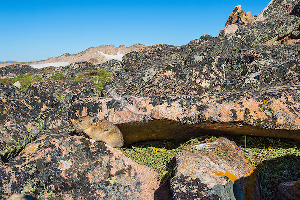 American pika (Ochotona princeps) sitting by one of its haypiles where it is collecting food for winter use.  Beartooth Mountains, Wyoming/Montana.  Summer.  Yellow flowers are cinquefoil.  This photo was taken in alpine setting at around 11,000 feet (3350 meters) elevation.