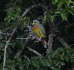 Yala National Park Sri Lanka<br /> Orange-breasted Green Pigeon