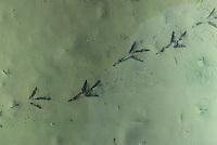 Spur einer Bachstelze im Schlamm, Fußspur, Fußabdruck, Trittsiegel, Vogelspur, Bach-Stelze, Motacilla alba, pied wagtail, pied white wagtail