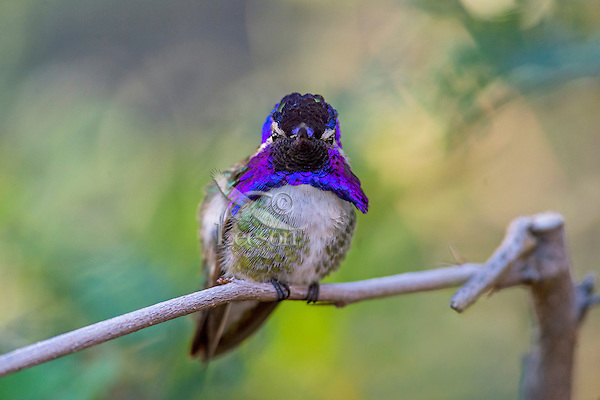 Perched Male Costa's Hummingbird (Calypte costae) showing off beautiful gorget.  American Desert Southwest.  March.