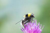 Hummel-Gebirgsschwebfliege, Hummel-Gebirgschwebfliege, Weibchen, Arctophila bombiformis, Sericomyia bombiformis, female