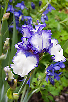 Bearded iris Orinoco Flow in bicolored white and blue with blue beard, picotee edge, with blue Aquilegia in spring bloom