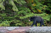 A black bear uses a fallen log to walk over some rocky shoreline below.