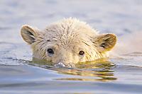 polar bear cub, Ursus maritimus, swimming, snorkeling, Arctic National Wildlife Refuge, Alaska, Arctic Ocean, polar bear, Ursus maritimus
