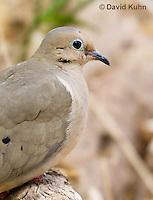 0611-1104  Mourning Dove in Arizona Desert (Sonoran Desert), Zenaida macroura  © David Kuhn/Dwight Kuhn Photography
