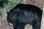 American black bear looking down foraging for food, 3/4 shot.