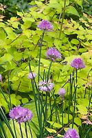 Kolkwitzia Dream Catcher and Herb Chives Allium, Hosta Gold Standard