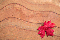 Big-tooth maple leaf on Sandstone, Zion National Park, Utah.